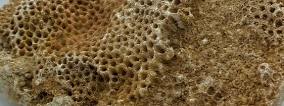 Fossiel koraal